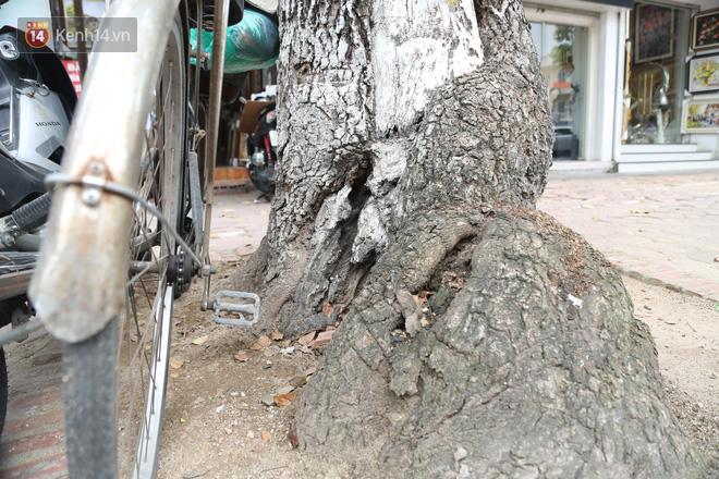Ảnh: Cận cảnh hàng loạt cây xanh mục gốc, ngả hướng ra giữa đường ở Hà Nội - ảnh 16