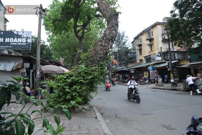 Ảnh: Cận cảnh hàng loạt cây xanh mục gốc, ngả hướng ra giữa đường ở Hà Nội - ảnh 5