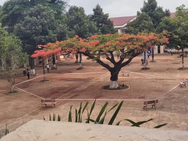 Nhiều trường quây hàng rào, đốn cây xanh trong sân sau hàng loạt vụ phượng vĩ bật gốc - ảnh 2