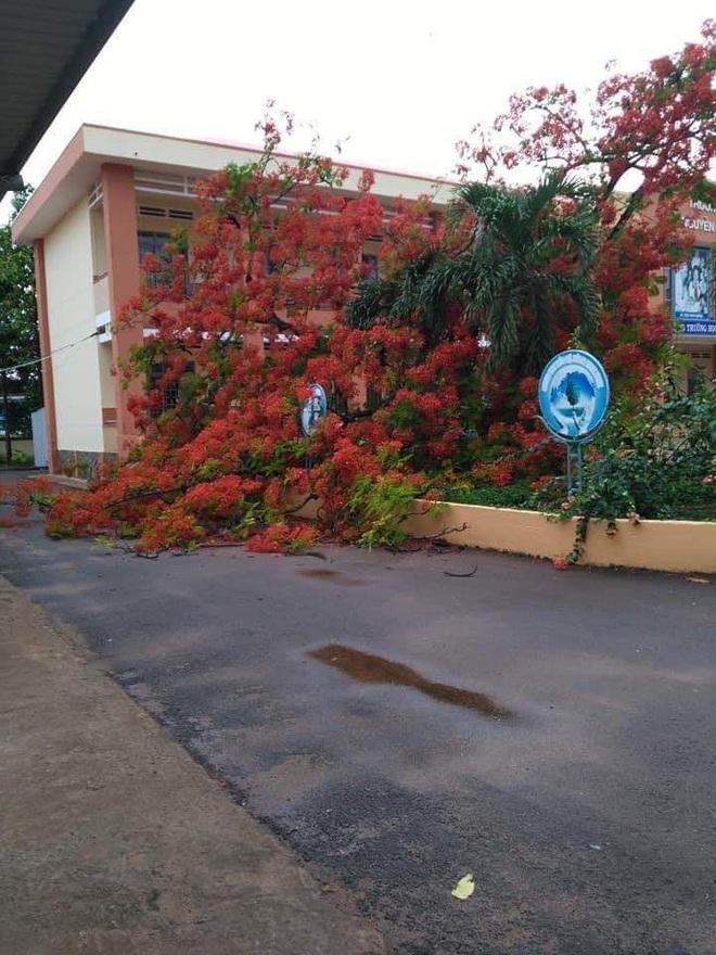 Lại thêm 1 cây phượng bật gốc ngã đổ ở trường tiểu học - ảnh 2