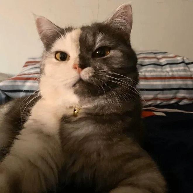 Gặp những chú mèo hai mặt có năng lực đốn tim cực mạnh khiến cư dân mạng ngắm mãi không thôi - Ảnh 19.