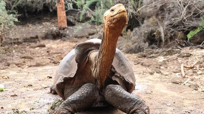 Cụ rùa với thành tựu giường chiếu cứu cả giống loài khỏi tuyệt chủng đã chính thức về hưu an dưỡng - Ảnh 1.