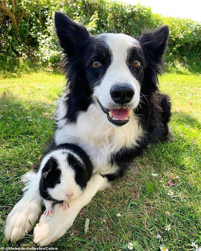 Sống chung với cặp chó có màu lông y hệt từ bé, chuột lang riết cũng tưởng mình là đồng loại của chúng - Ảnh 3.