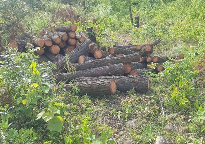 Vụ hơn 4 ha rừng phòng hộ cách trụ sở UBND xã 1km bị chặt phá: Công an vào cuộc điều tra - ảnh 1