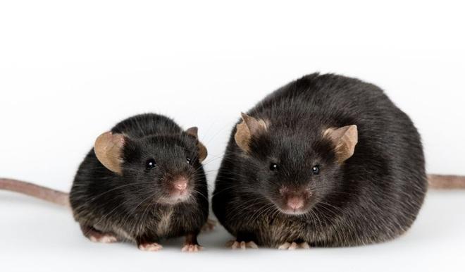 OncoMouse - Con chuột bị cấy gen ung thư một thời làm xáo trộn cả giới nghiên cứu khoa học, khiến ĐH Harvard phải mang tiếng xấu đến tận hôm nay - ảnh 2