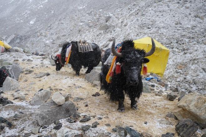 Không phải chó ngao, loài vật này mới là báu vật của Tây Tạng với công dụng toàn năng, bất kỳ bộ phận nào cũng có thể 'đẻ ra tiền' - ảnh 1