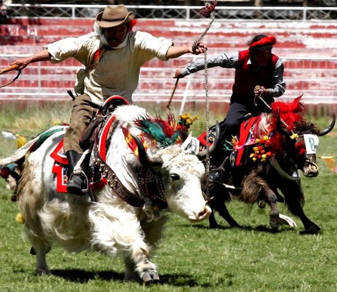 Không phải chó ngao, loài vật này mới là báu vật của Tây Tạng với công dụng toàn năng, bất kỳ bộ phận nào cũng có thể 'đẻ ra tiền' - ảnh 3