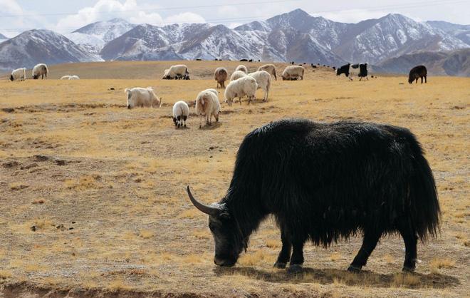 Không phải chó ngao, loài vật này mới là báu vật của Tây Tạng với công dụng toàn năng, bất kỳ bộ phận nào cũng có thể 'đẻ ra tiền' - ảnh 2