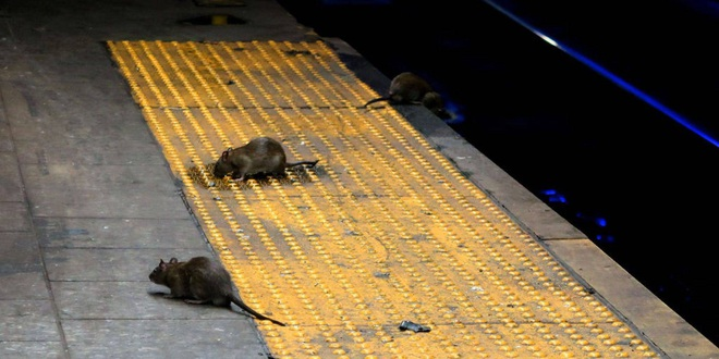 Sự trỗi dậy của loài chuột cống: Thực khách ăn uống ở vỉa hè New York liên tục bị chuột quấy rối và trấn lột thức ăn - Ảnh 1.