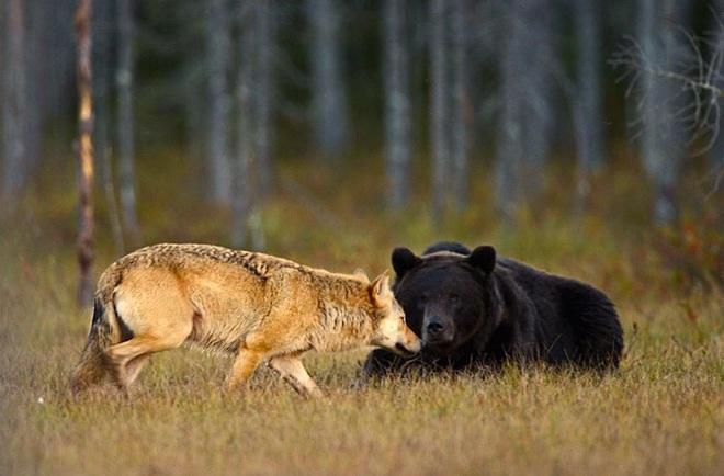 Chuyện tình vụng trộm của nàng sói xám và chàng gấu nâu: Quấn quýt từ 8 giờ tối tới 4 giờ sáng mỗi ngày rồi ai về nhà nấy - ảnh 7