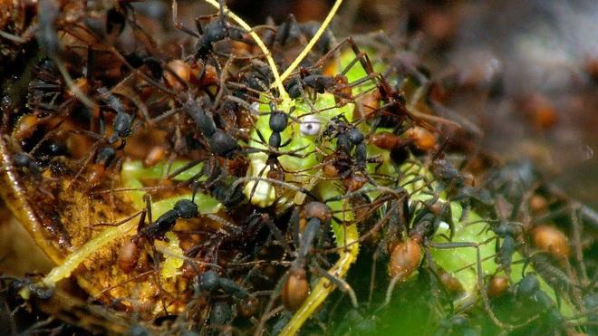 Loài kiến háu ăn nhất thiên nhiên: một ngày săn 500.000 con mồi, hàm răng nối lành được vết thương của người - ảnh 1