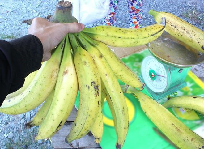 """Ngỡ ngàng trước giống chuối """"siêu to khổng lồ"""" đặc biệt tại Việt Nam, mỗi quả nặng gần 1kg giá chỉ 9.000 đồng/quả - Ảnh 3."""