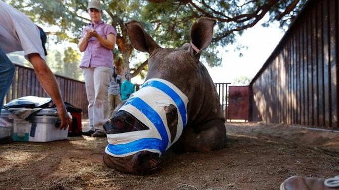 Tê giác châu Phi lâm nguy vì lời đồn vô căn cứ dùng sừng chữa Covid-19 - ảnh 1