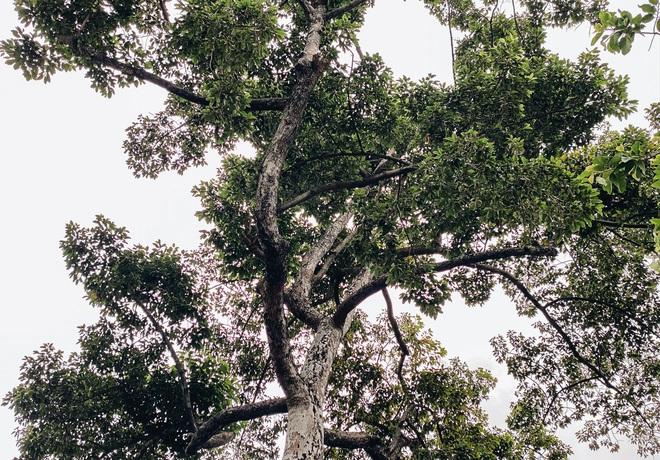 Sau vụ cây xanh bật gốc đè chết người: Vẫn còn nhiều cây đã già cỗi có rễ lộ thiên, nhánh vươn ra mặt đường ở Sài Gòn - ảnh 6