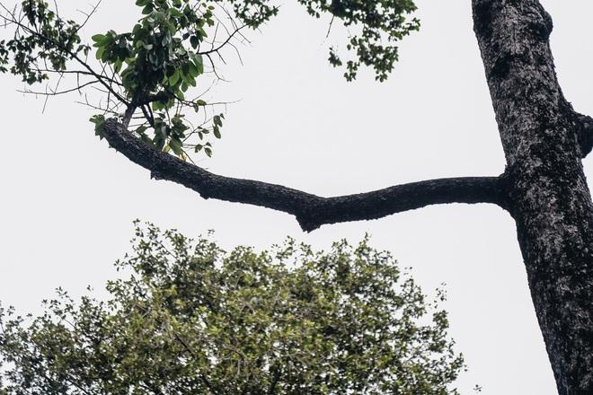Sau vụ cây xanh bật gốc đè chết người: Vẫn còn nhiều cây đã già cỗi có rễ lộ thiên, nhánh vươn ra mặt đường ở Sài Gòn - ảnh 12