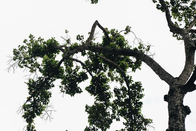 Sau vụ cây xanh bật gốc đè chết người: Vẫn còn nhiều cây đã già cỗi có rễ lộ thiên, nhánh vươn ra mặt đường ở Sài Gòn - ảnh 11