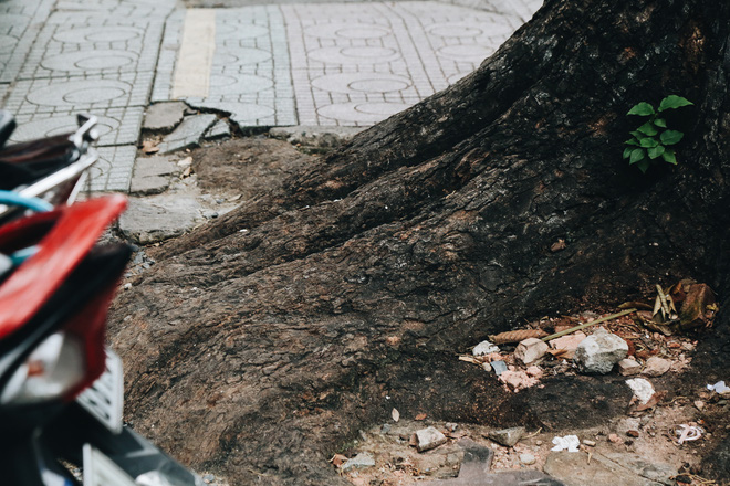 Sau vụ cây xanh bật gốc đè chết người: Vẫn còn nhiều cây đã già cỗi có rễ lộ thiên, nhánh vươn ra mặt đường ở Sài Gòn - ảnh 10