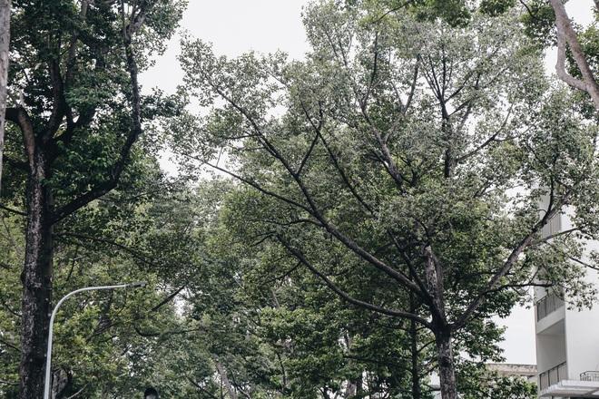Sau vụ cây xanh bật gốc đè chết người: Vẫn còn nhiều cây đã già cỗi có rễ lộ thiên, nhánh vươn ra mặt đường ở Sài Gòn - ảnh 9