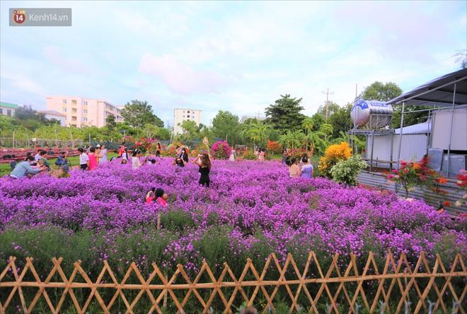 Dân tình chen chúc sống ảo tại vườn hoa thạch thảo đẹp lịm tim lần đầu được trồng ở Đà Nẵng - ảnh 2