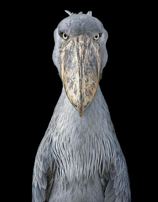 Đầu cắt moi đến râu quai nón - chùm ảnh chân dung cực nghệ của một số loài chim siêu hiếm có khó tìm - ảnh 9