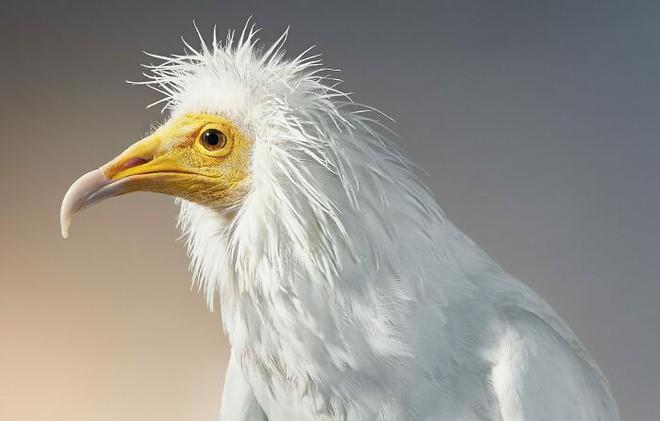 Đầu cắt moi đến râu quai nón - chùm ảnh chân dung cực nghệ của một số loài chim siêu hiếm có khó tìm - ảnh 10