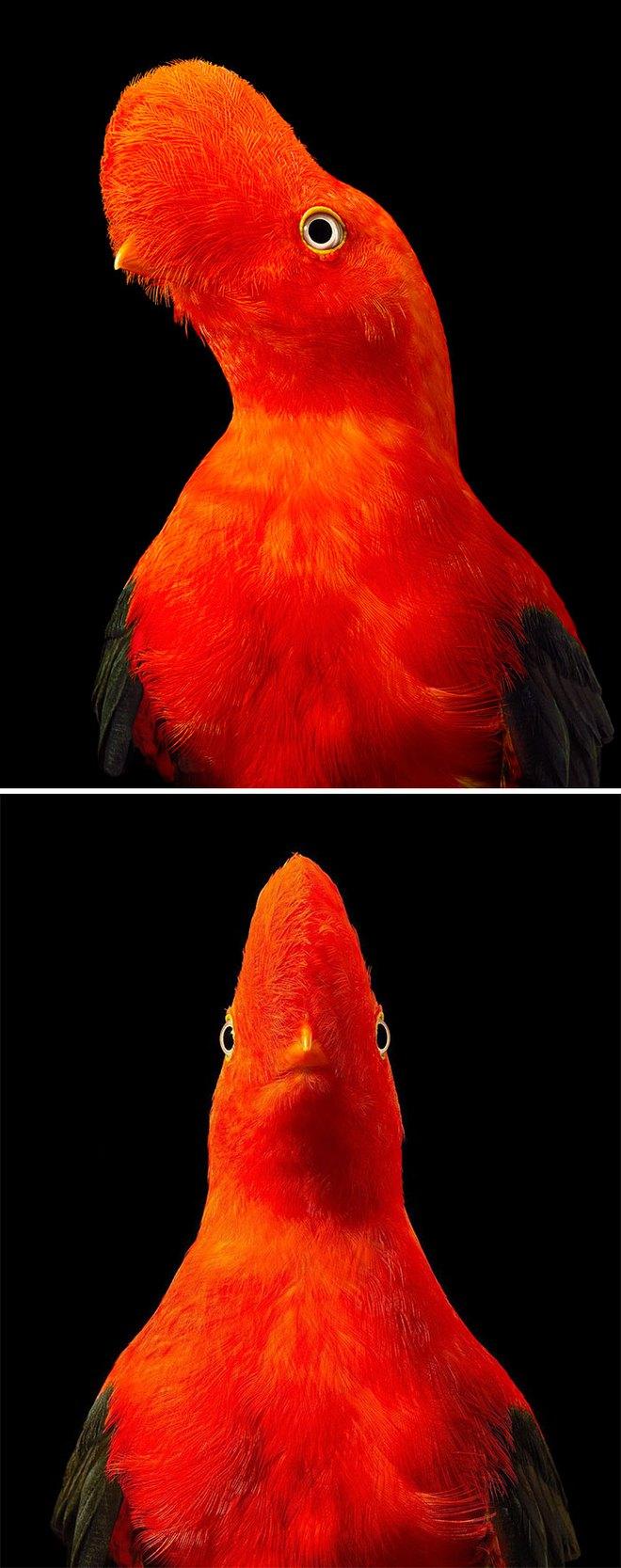 Đầu cắt moi đến râu quai nón - chùm ảnh chân dung cực nghệ của một số loài chim siêu hiếm có khó tìm - ảnh 5