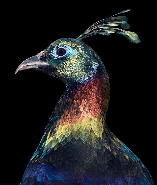 Đầu cắt moi đến râu quai nón - chùm ảnh chân dung cực nghệ của một số loài chim siêu hiếm có khó tìm - ảnh 19
