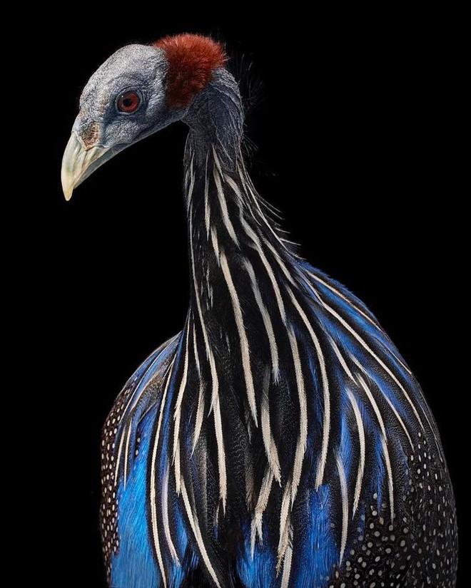 Đầu cắt moi đến râu quai nón - chùm ảnh chân dung cực nghệ của một số loài chim siêu hiếm có khó tìm - ảnh 3