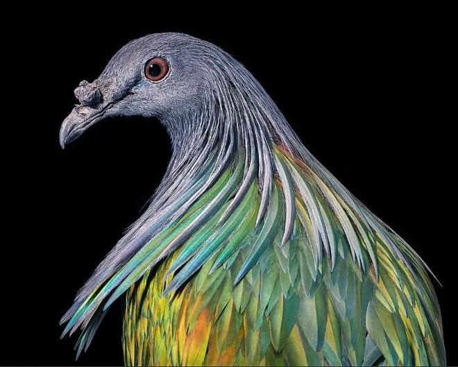 Đầu cắt moi đến râu quai nón - chùm ảnh chân dung cực nghệ của một số loài chim siêu hiếm có khó tìm - ảnh 1
