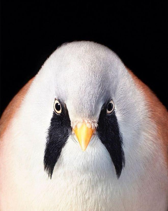 Đầu cắt moi đến râu quai nón - chùm ảnh chân dung cực nghệ của một số loài chim siêu hiếm có khó tìm - ảnh 2