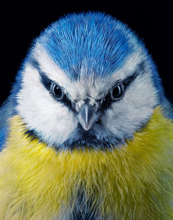 Đầu cắt moi đến râu quai nón - chùm ảnh chân dung cực nghệ của một số loài chim siêu hiếm có khó tìm - ảnh 20
