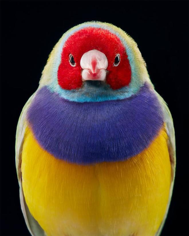 Đầu cắt moi đến râu quai nón - chùm ảnh chân dung cực nghệ của một số loài chim siêu hiếm có khó tìm - ảnh 17
