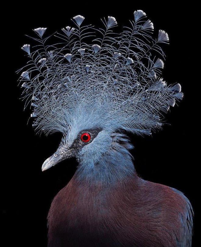 Đầu cắt moi đến râu quai nón - chùm ảnh chân dung cực nghệ của một số loài chim siêu hiếm có khó tìm - ảnh 11