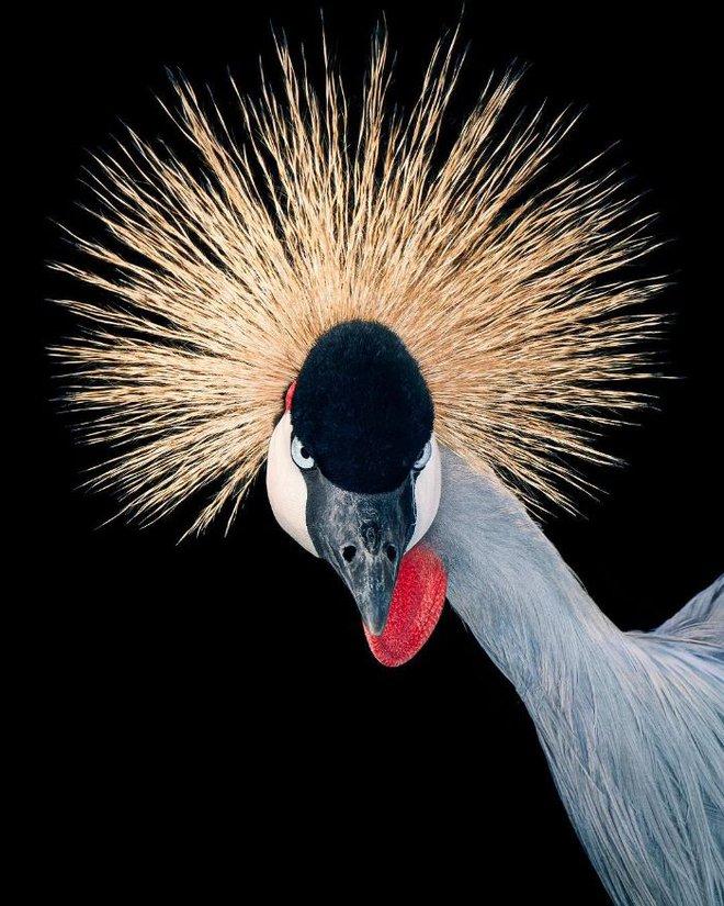 Đầu cắt moi đến râu quai nón - chùm ảnh chân dung cực nghệ của một số loài chim siêu hiếm có khó tìm - ảnh 7