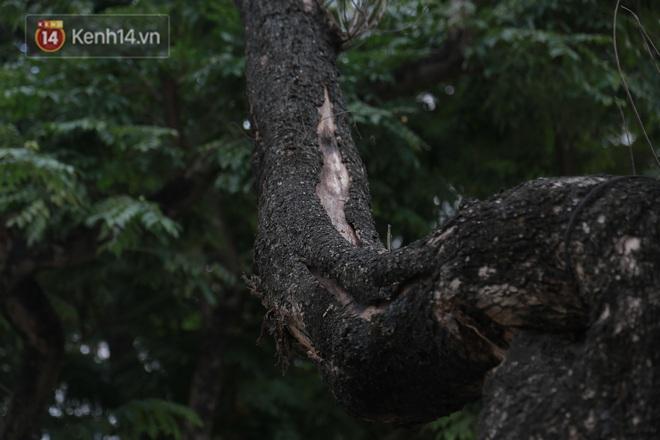 """Những cây sưa đỏ """"mang giáp sắt"""", lắp camera theo dõi đã chết khô: Người Hà Nội xót xa, lo lắng - Ảnh 5."""