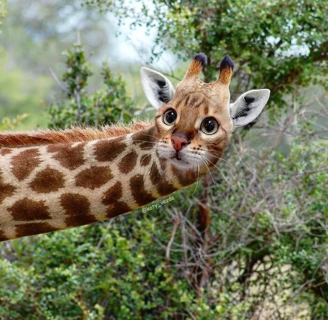 Loạt ảnh ghép mặt mèo vào body 500 anh em động vật khác, càng xem càng thấy sai trái - Ảnh 12.