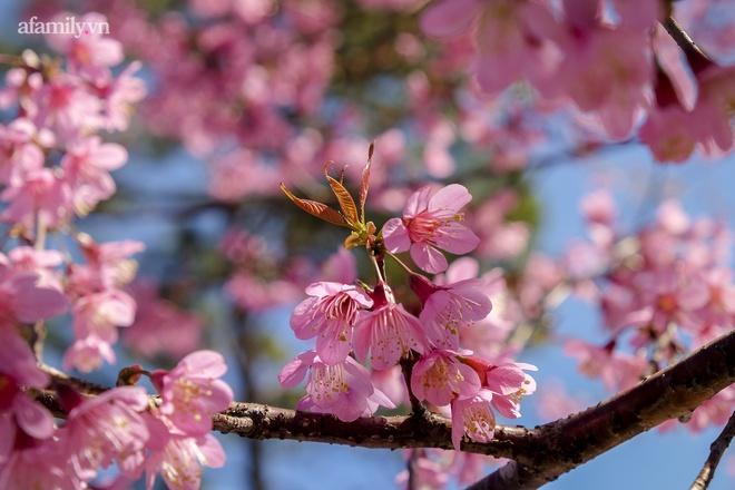Choáng ngợp với cảnh hàng trăm cây hoa mai anh đào nở rợp trời ở ngôi làng đẹp lạ như Tây Tạng, nằm ngay gần trung tâm TP. Đà Lạt mà không phải ai cũng biết - Ảnh 4.
