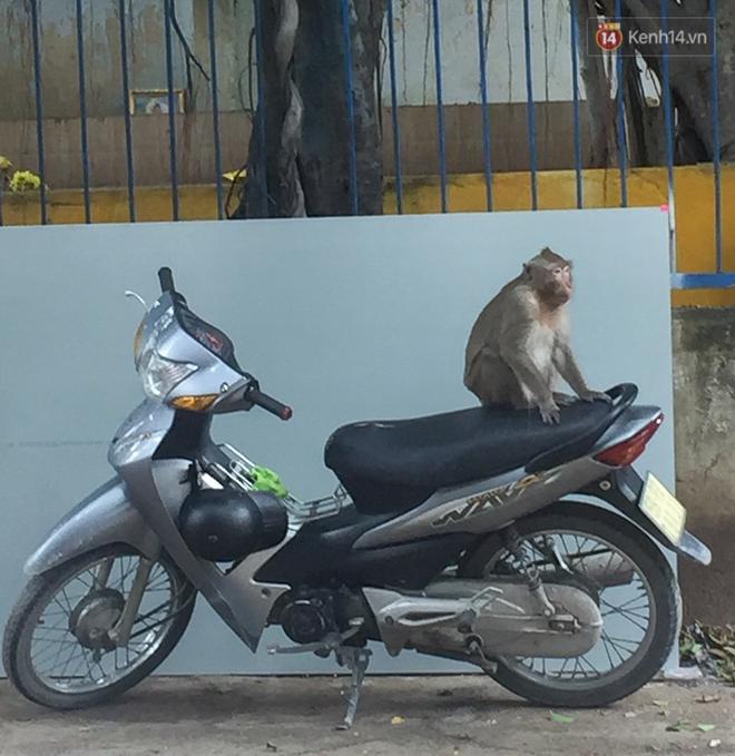"""Cận cảnh đàn khỉ """"đại náo"""" khu dân cư ở Sài Gòn khiến người dân mệt mỏi: Chúng rất sợ đàn ông nhưng lại không sợ phụ nữ - ảnh 11"""