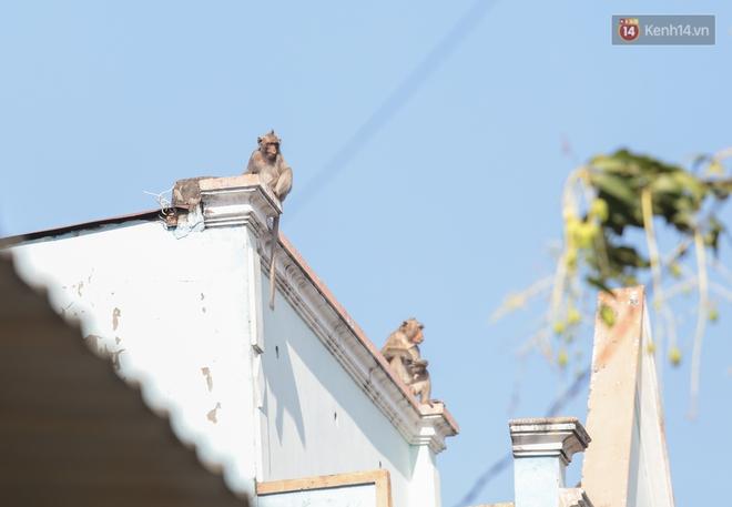 """Cận cảnh đàn khỉ """"đại náo"""" khu dân cư ở Sài Gòn khiến người dân mệt mỏi: Chúng rất sợ đàn ông nhưng lại không sợ phụ nữ - ảnh 9"""