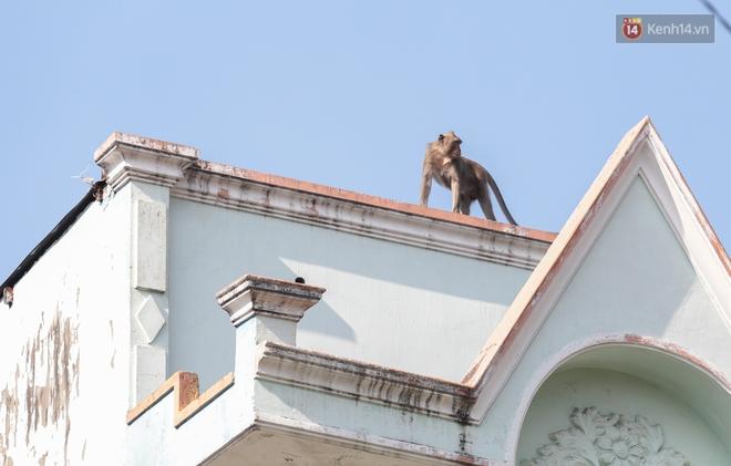 """Cận cảnh đàn khỉ """"đại náo"""" khu dân cư ở Sài Gòn khiến người dân mệt mỏi: Chúng rất sợ đàn ông nhưng lại không sợ phụ nữ - ảnh 8"""