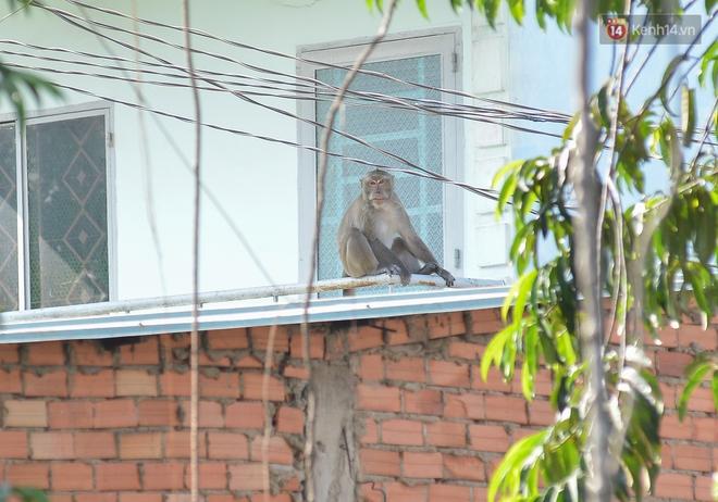 """Cận cảnh đàn khỉ """"đại náo"""" khu dân cư ở Sài Gòn khiến người dân mệt mỏi: Chúng rất sợ đàn ông nhưng lại không sợ phụ nữ - ảnh 2"""