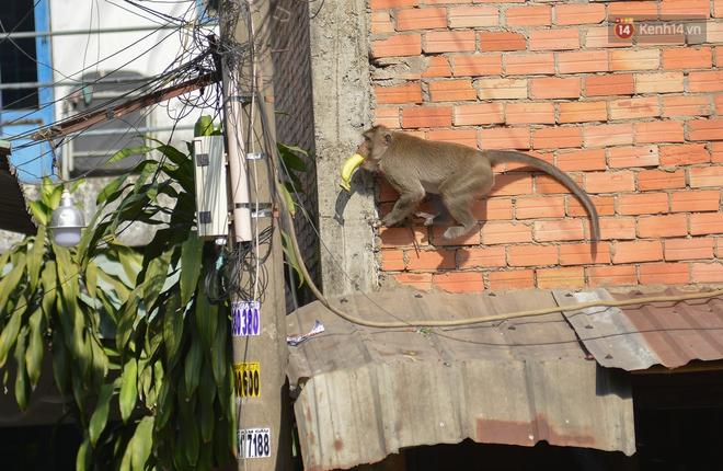 """Cận cảnh đàn khỉ """"đại náo"""" khu dân cư ở Sài Gòn khiến người dân mệt mỏi: Chúng rất sợ đàn ông nhưng lại không sợ phụ nữ - ảnh 5"""
