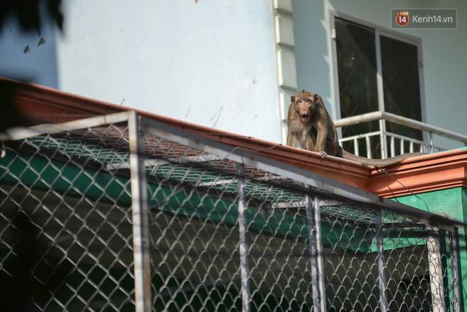"""Cận cảnh đàn khỉ """"đại náo"""" khu dân cư ở Sài Gòn khiến người dân mệt mỏi: Chúng rất sợ đàn ông nhưng lại không sợ phụ nữ - ảnh 4"""