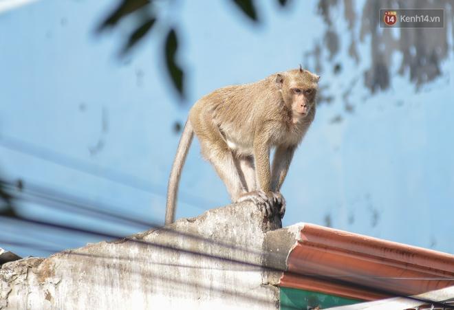 """Cận cảnh đàn khỉ """"đại náo"""" khu dân cư ở Sài Gòn khiến người dân mệt mỏi: Chúng rất sợ đàn ông nhưng lại không sợ phụ nữ - ảnh 3"""