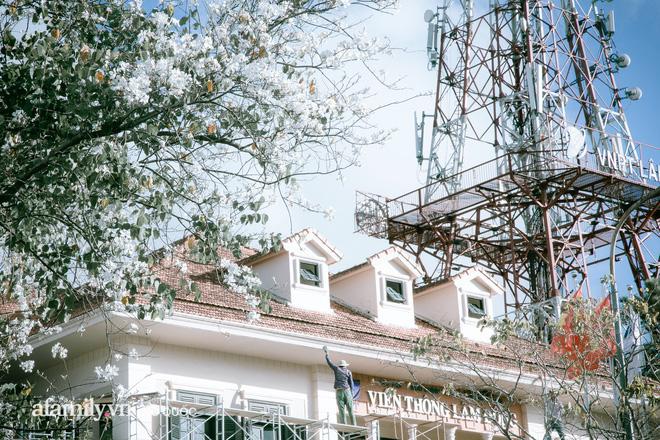 dep den kho tin: hang tram cay hoa ban no trang troi khap da lat, canh tuong tu xa nhin nhu tuyet phu bao quanh thanh pho! - anh 2