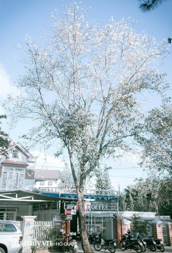 dep den kho tin: hang tram cay hoa ban no trang troi khap da lat, canh tuong tu xa nhin nhu tuyet phu bao quanh thanh pho! - anh 8