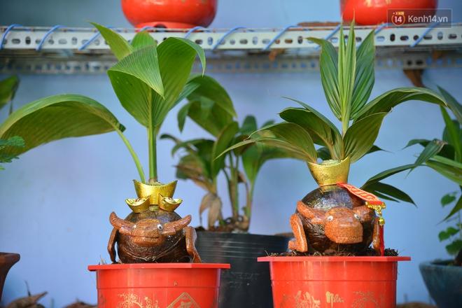 Độc đáo dừa bonsai hình con trâu khiến người Sài Gòn bỏ hàng triệu đồng mua chơi Tết Tân Sửu 2021 - ảnh 11