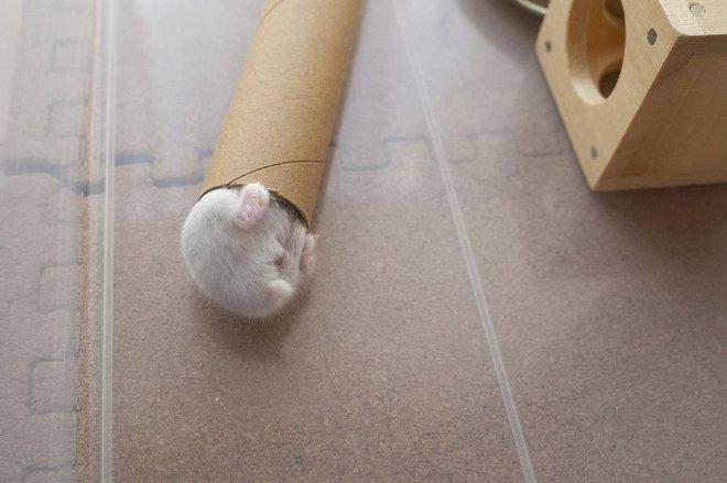 Chú chuột hamster đáng yêu nhất MXH Việt hôm nay: Quốc tịch Nhật Bản, đáng yêu hết phần thiên hạ với những kiểu tạo dáng độc đáo hết nấc - ảnh 2