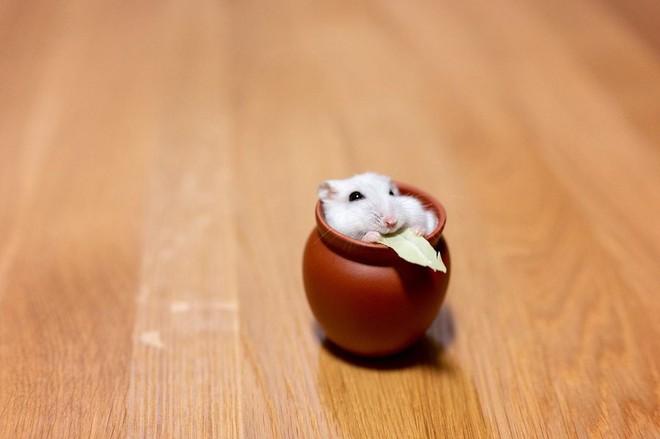 Chú chuột hamster đáng yêu nhất MXH Việt hôm nay: Quốc tịch Nhật Bản, đáng yêu hết phần thiên hạ với những kiểu tạo dáng độc đáo hết nấc - ảnh 3