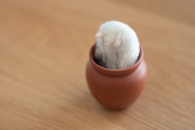 Chú chuột hamster đáng yêu nhất MXH Việt hôm nay: Quốc tịch Nhật Bản, đáng yêu hết phần thiên hạ với những kiểu tạo dáng độc đáo hết nấc - ảnh 4